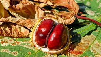 Advierten de un insecto barrenador de la madera en plantaciones de peral y castaño del Bierzo