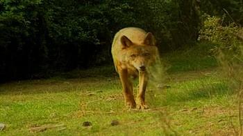 Los ataques de lobo al ganado en Castilla y León ascienden en 2016 un 23 por ciento