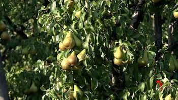 La Asociación Berciana de Agricultores estima una cosecha frutícola de entre 9 y 10 millones de kilos