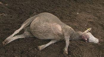 La Alianza denuncia la muerte de siete ovejas en un ataque de lobos en San Juan de la Nava, �vila
