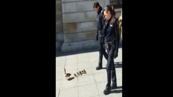 La policía de Valladolid 'escolta' a una familia de patos para que vuelvan a su hábitat