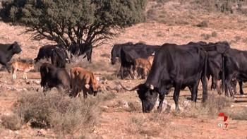 Recuperar a la vaca serrana negra de Soria