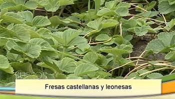 Las fresas de Huelva también lo son de Castilla y León
