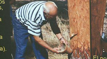 La resina, una actividad ligada a la localidad vallisoletana de Traspinedo