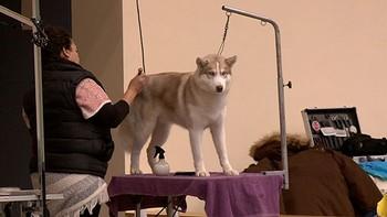Investigan la intoxicación de doce perros participantes en la 35 Exposición de Nórdicos en Modúbar de la Emparedada, Burgos