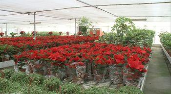 Castilla y Le�n es la mayor productora de Espa�a de flor de Pascua