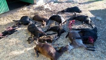 La Alianza denuncia un ataque de lobos en Ávila con 40 cabras muertas, malheridas o desaparecidas