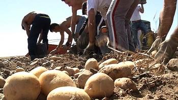 Alrededor del 20% de los agricultores apoyan la interprofesional de la patata