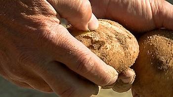 La superficie cultivada de patata en Castilla y León aumenta un 5,6%  hasta las 20.000 hectáreas