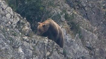 Los osos irrumpen por tercer verano consecutivo en El Villar de Santiago
