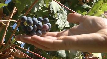 El sector vitivinícola emplea a 19.000 personas en Castilla y León