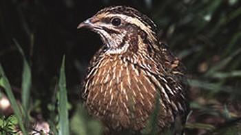 Seo Birdlife advierte; la tórtola europea, la codorniz y la avefría, en la 'lista roja'