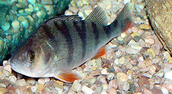 Los peces que toman ansiolíticos se vuelven más temerarios y antisociales