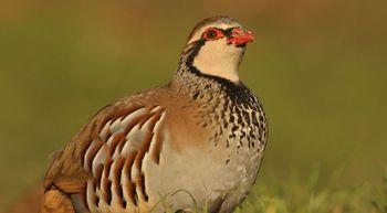 La exposici�n al plomo afecta al sistema inmune de las aves silvestres