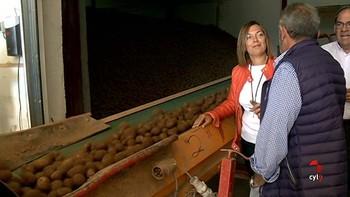 La campaña de la patata baja un 4,2% y rondará las 818.000 toneladas por las adversidades climáticas