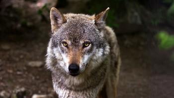 El TSJCyL paraliza de forma cautelar la caza del lobo al norte del Duero durante esta temporada