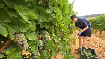El corte de las uvas chardonnay estrena la vendimia en el Palacio de Canedo, León