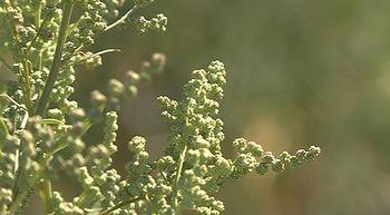 Prueban el primer cultivo de Quinoa en Castilla y Le�n