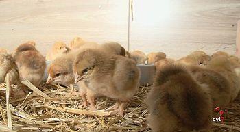 Nace la primera granja de pollos ecol�gicos en Valladolid, la quinta de Castilla y Le�n