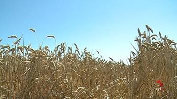 La cosecha de cereal en Castilla y León, un 59 por ciento menos que la media del último lustro