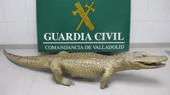 El Seprona interviene un caimán disecado en un comercio de Valladolid