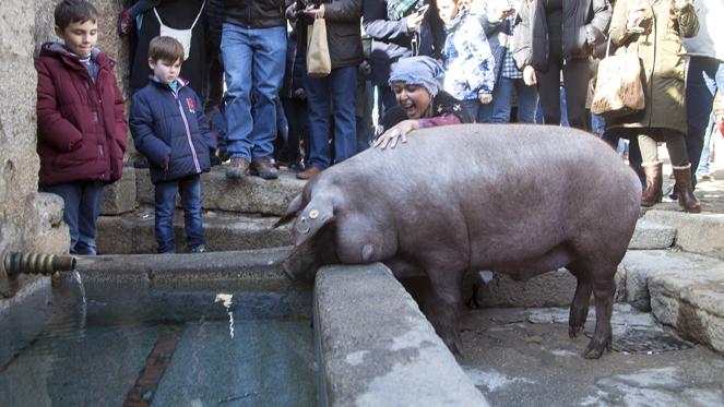 Por San Antón....el cerdo se rifó